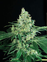 Exotic Seeds - Sir Jack Feminised Cannabis Seeds