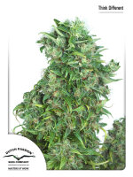 Dutch Passion - Think Different Feminised Autoflowering Single Cannabis Seed