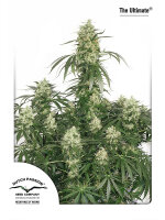 Dutch Passion - The Ultimate Feminised Single Cannabis Seed