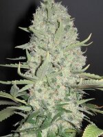 Female Seeds - White Widow X Big Bud Feminised Cannabis Seed