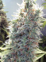 Female Seeds - C99 Feminised Cannabis Seeds