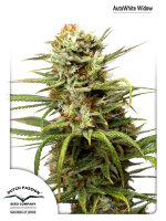 Dutch Passion - Auto White Widow Feminised Autoflowering Single Cannabis Seed