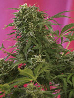Sweet Seeds - Collection #5 Feminised Cannabis Seeds