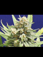 Original Sensible Seed Company - Stinkin Bishop Feminised Cannabis Seeds