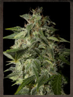Strain Hunters Seeds - Afgooey Feminised Cannabis Seeds