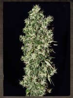 Strain Hunters Seeds - Big Tooth Feminised Cannabis Seeds