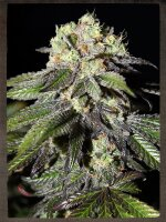 Strain Hunters Seeds - Caboose Feminised Cannabis Seeds