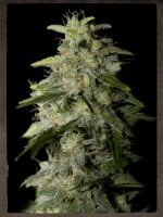 Strain Hunters Seeds - Money Maker Feminised Cannabis Seeds