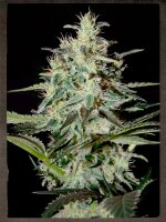 Strain Hunters Seeds - White Lemon Feminised Cannabis Seeds