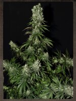 Strain Hunters Seeds - White Strawberry Skunk Feminised Cannabis Seeds