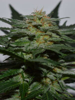 Garden of Green - Sweetberry Cough Auto Feminised Autoflowering Cannabis Seeds