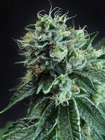 TGA Subcool Seeds - Jesus OG Regular Cannabis Seeds