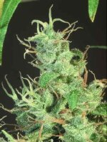 T H Seeds - S.A.G.E. Feminised Cannabis Seeds