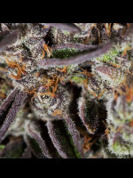 The Plug Seedbank - Jungle Scout Cookies Regular Cannabis Seeds