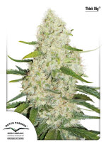 Dutch Passion - Think Big Autoflowering Feminised Cannabis Seeds