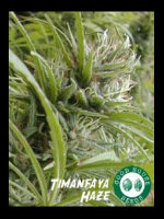 Good House Seeds - Timanfaya Haze Regular Cannabis Seeds