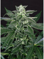 Exotic Seeds - Auto Triple A Feminised Autoflowering Cannabis Seeds