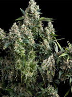 Pyramid Seeds - Tutankhamon Feminised Single Cannabis Seed