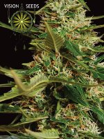 Vision Seeds - Auto Super Skunk Feminised Autoflowering Cannabis Seeds