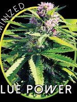 Vision Seeds - Blue Power Feminised Cannabis Seeds