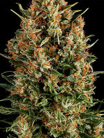 Pyramid Seeds - Wembley Feminised Single Cannabis Seed