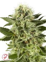 White Label - Northern Lights Feminised Cannabis Seeds
