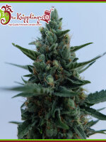 Dr Krippling Seeds - White Rush Auto Feminised Autoflowering Cannabis Seeds