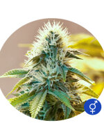 Bulldog Cannabis Seeds - White Widow Regular Cannabis Seeds 5 Pack