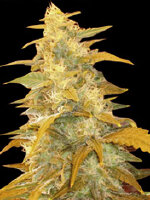 World Of Seeds Landraces - Afghan Kush Feminised Cannabis Seeds